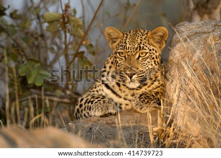 Leopard lying on rock - stock photo