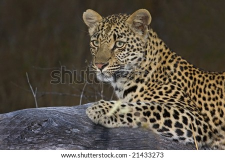 Leopard on log - stock photo