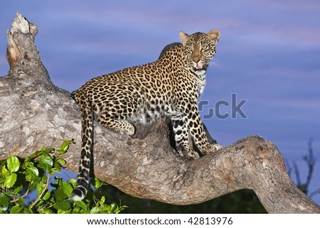 Leopard on overcast day - stock photo