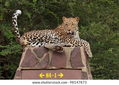 Leopard on signpost Kruger National Park south africa male leopard - stock photo