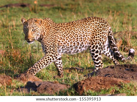 Leopard on the prowl - stock photo