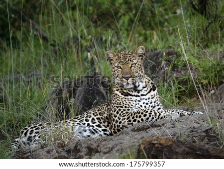 leopard on the rocks at sunset - stock photo