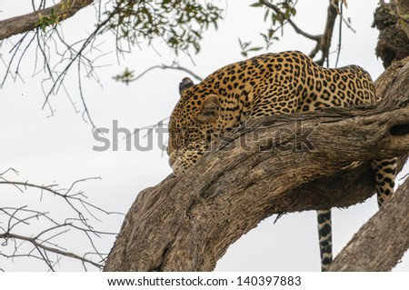 Leopard on the tree - stock photo