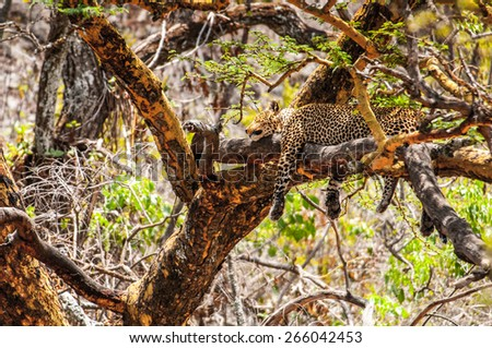 Leopard on the tree in Kenya - stock photo