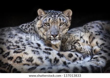 Leopard pair - stock photo