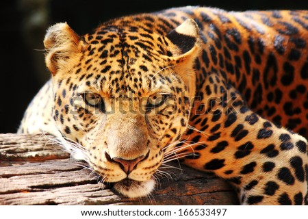 leopard panther resting  relax on tree - stock photo