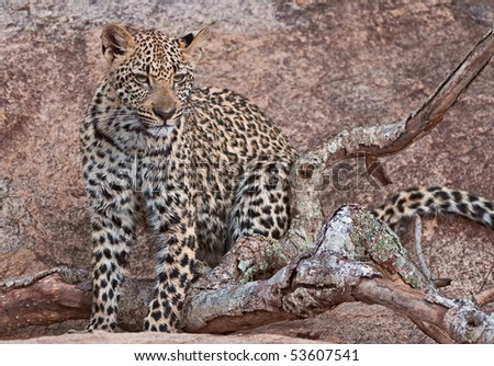 Leopard (panthera pardus) cub posing on a large rock in the African wilderness - stock photo