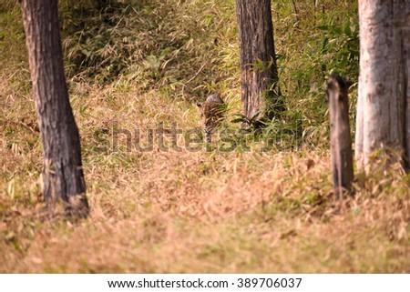 Leopard (Panthera pardus) in the bush, Tadoba, Chandrapur, Maharashtra, India - stock photo