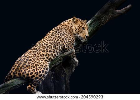Leopard, Panthera pardus, on black background - stock photo