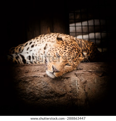 Leopard, Panthera pardus, on black background - stock photo