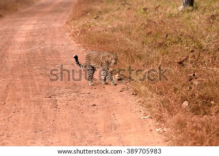 Leopard (Panthera pardus) walking on the road, Tadoba, Chandrapur, Maharashtra, India - stock photo