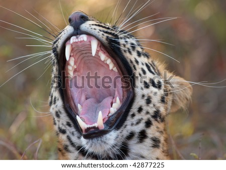 Leopard (Panthera pardus) yawning in nature reserve in South Africa. Focus is on the mouth - stock photo