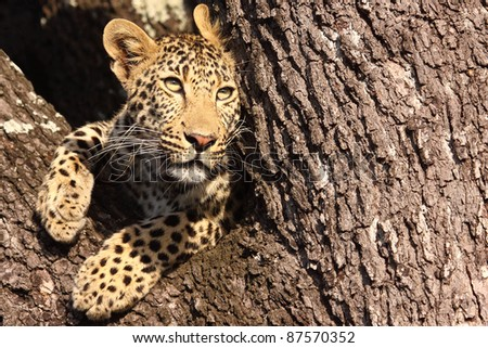 Leopard peering out of tree - stock photo