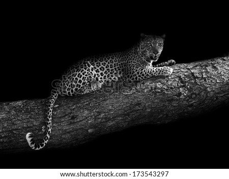 Leopard resting in a tree - stock photo