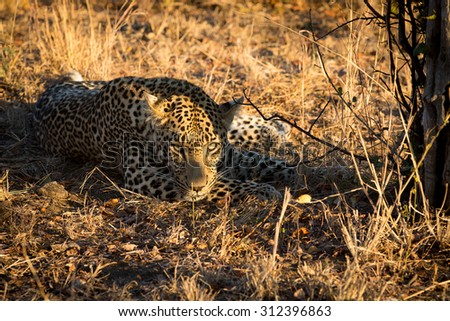 Leopard resting in the shade of a small tree at sunrise in Sabi Sands in greater Kruger National Park, South Africa - stock photo