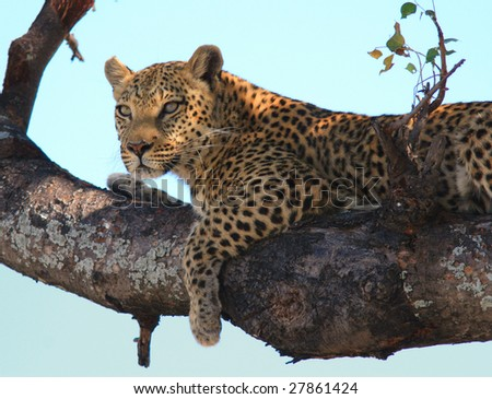 Leopard resting in tree - stock photo