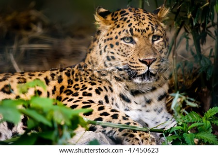Leopard resting on ground - stock photo