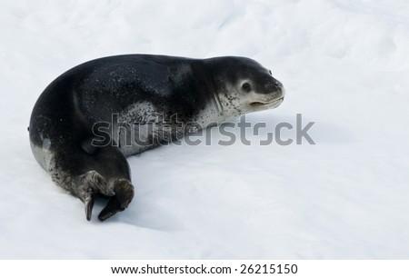 Leopard seal on ice - stock photo