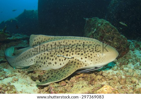 Leopard Shark also known as Zebra Shark - stock photo