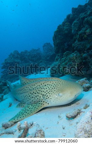 Leopard Shark relaxing in the Sand, in the Andaman Sea, Thailand. - stock photo