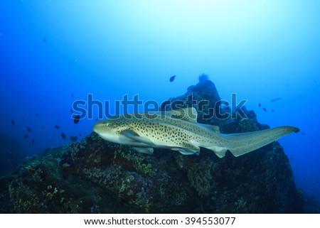 Leopard Shark (Zebra Shark) - stock photo