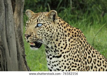 Leopard side profile watching herd of impala, blue eye - stock photo