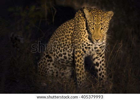 Leopard sitting in darkness hunting nocturnal prey in a spotlight - stock photo
