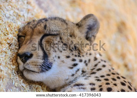 Leopard sleeping exotic animals at the zoo - stock photo