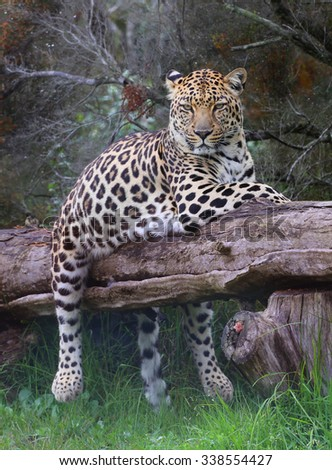 leopard, South Africa. - stock photo