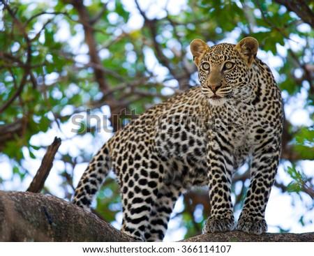 Leopard standing on the tree. National Park. Kenya. Tanzania. Maasai Mara. Serengeti. An excellent illustration. - stock photo