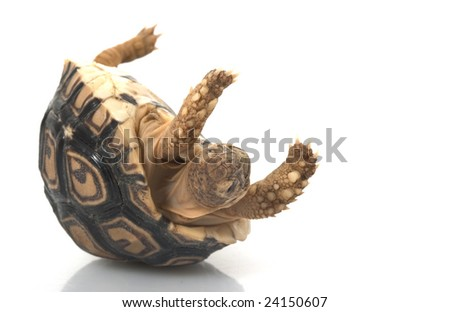Leopard Tortoise (Geochelone pardalis) isolated on white background. - stock photo