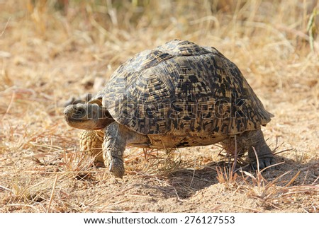 Leopard Tortoise on the move - stock photo