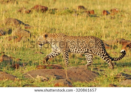 Leopard walking across the golden sunlit plains in Kenya - stock photo