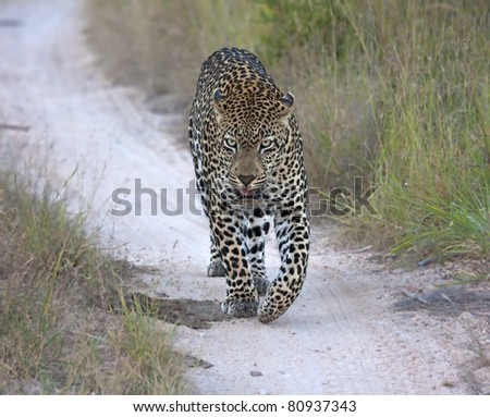 Leopard walking along a road at night in spotlight - stock photo