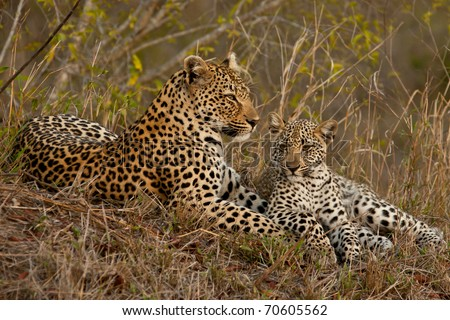 Leopard with cub sitting beside her - stock photo