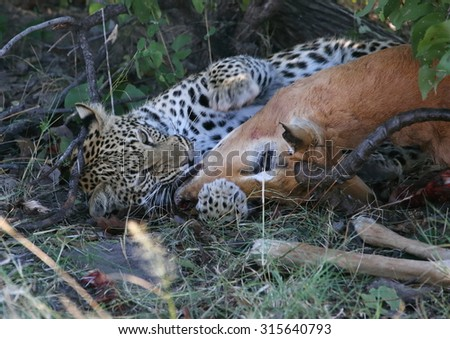 Leopard young cuddling Impala  - stock photo