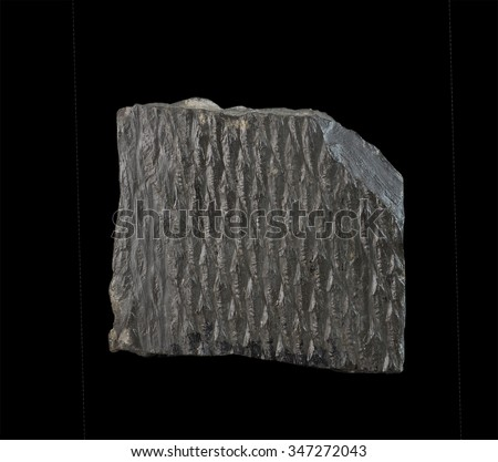 Lepidodendrons bark imprint Carboniferous period - stock photo