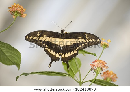 lepidopterous insects - stock photo