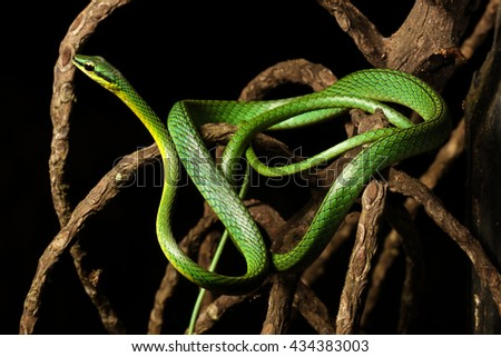 Leptophis ahaetulla, commonly known as the lora or parrot snake, is a species of medium-sized slender snake of the Colubridae family. - stock photo