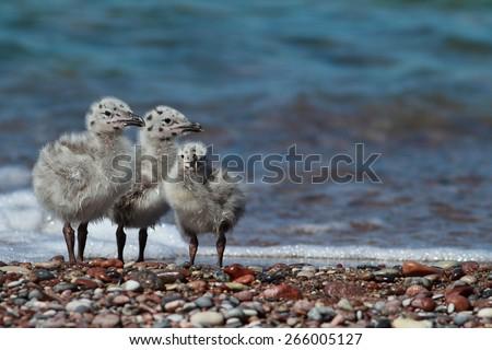 Lesser Black Backed Gull chicks - stock photo