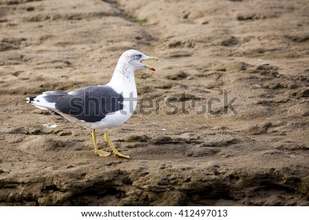 Lesser black backed gull (Larus fuscus) almost into full adult plumage, sitting on muddy, silty sand - stock photo