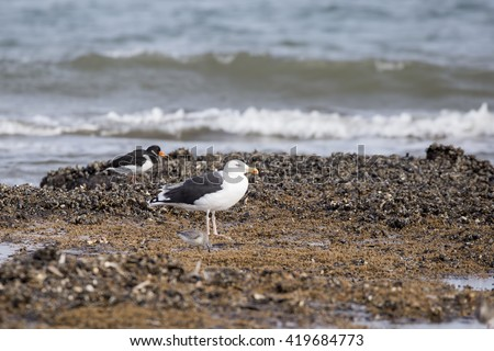 Lesser black-backed gull (Larus fuscus) standing on the edge of the coast, on seaweed covered rocks. An oyster catcher (Haematopus ostralegus) is in the background.  - stock photo