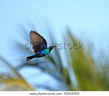 Lesser Blue-eared Glossy Starling in flight - stock photo