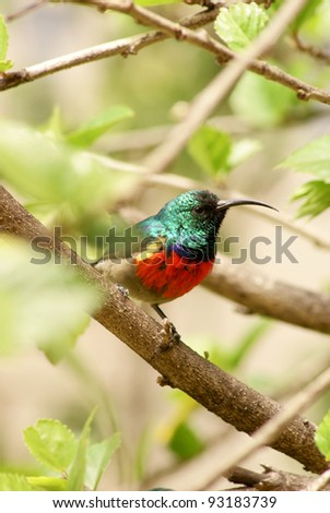Lesser Double Collared Sun bird sitting on tree branch. - stock photo