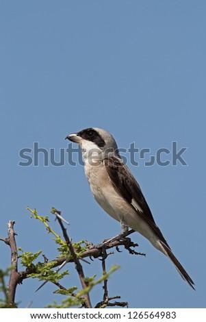 Lesser Grey Shrike; Lanius minor - stock photo