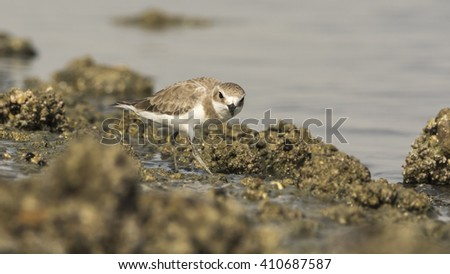 Lesser sand plover bird in Bahrain - stock photo