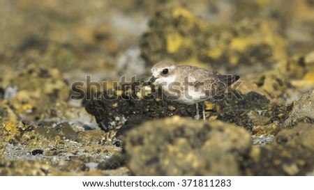 Lesser sand plover on the sea rocks  - stock photo
