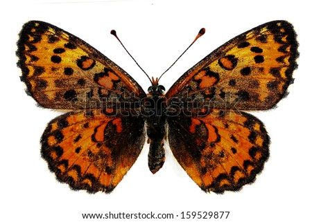 Lesser Spotted Fritillary (Melitaea trivia), female, isolated over a white background - stock photo