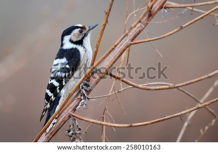Lesser spotted woodpecker on the weed - stock photo