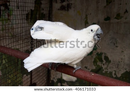 Lesser Sulphur-Crested Cockatoo, Bird couple (Cacatua sulphurea) - stock photo